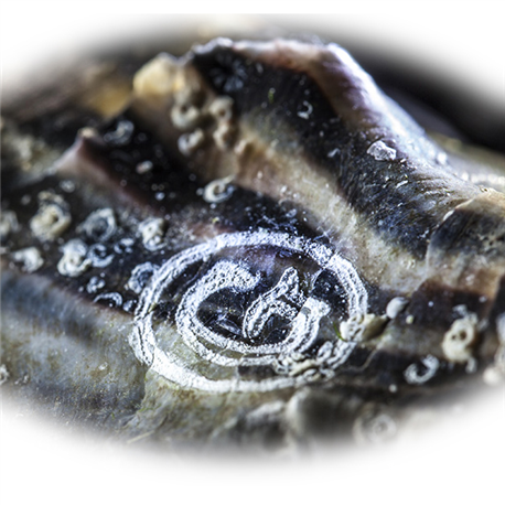 Huîtres Spéciales Gilardeau n°3